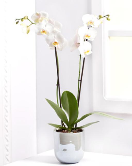 Vazoninė gėlė