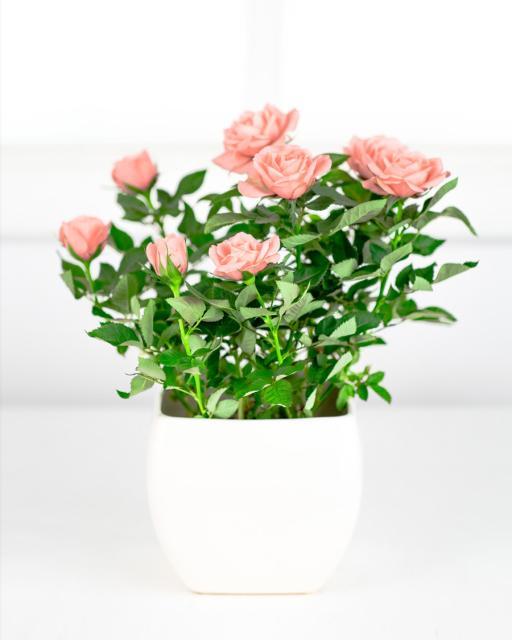 Rožės vazonėlyje